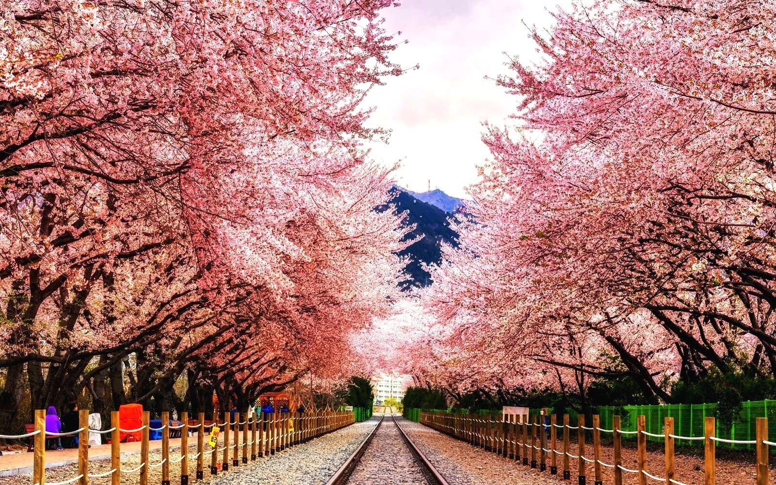 Сезон цветения сакуры – авиатур в Южную Корею