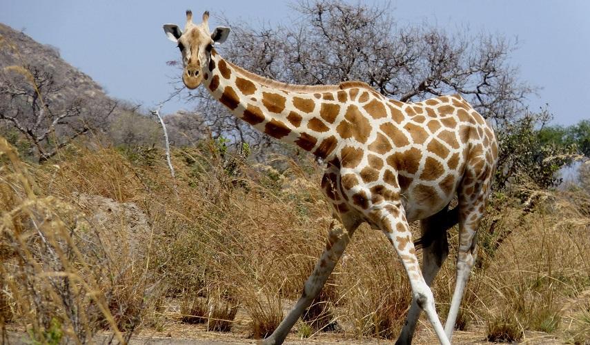 Национальный Парк Лобеке (Камерун) – Национальный Парк Дзанга Санга (Центральная Африканская Республика)